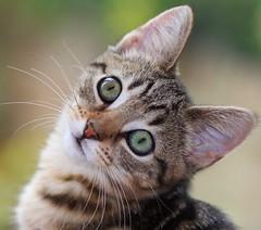 [フリー画像] 動物, 哺乳類, 猫・ネコ, 子猫・小猫, 201108061100