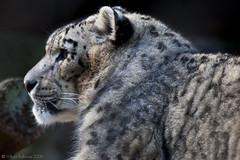 Snow Leopard(1) (WilliamBullimore) Tags: apple nature animal fauna mac australia melbourne victoria leopard snowleopard digitalcameraclub royalmelbournezoologicalgardens colorphotoaward estremit atomicaward