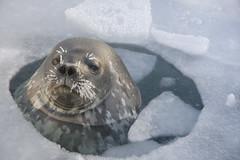 Weddell Seal 1 (David S Williams Photography) Tags: ocean snow cold frozen antarctica seal 2009 breathing davewilliams mcmurdostation weddellseal