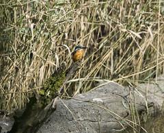 Kingfisher 01 (zxious) Tags: blue orange bird reeds log wildlife beak september kingfisher perch aberogwen spinnies eoscanon350d 150500mmlens sigmaexdgapo
