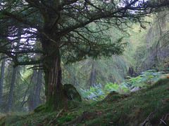 Yew In Larch Wood (Wild Eepe) Tags: forest yew larch