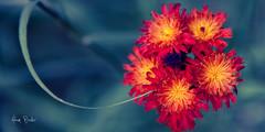 lollipop ([Adam Baker]) Tags: blue red summer orange flower macro green grass canon bokeh alpine bloom hawkweed wy grandtetonnationalpark gtnp 24105l adambaker ef24105mmf4lisusm hbw 5dmarkii hehwronglens butsed ijustassumeditwasthe100 yesiamahabitualexifchecker