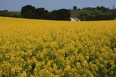 Canola Field Part 7 /  7 (kth517) Tags: spring australia  yellowflowers canola    canolafield 24105mm bellarinepeninsula victoriastate