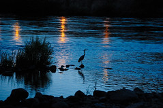 Evening Fishing (Phil's Pixels) Tags: heron birds explore rivers reflexions soe nightscapes abigfave scenicsnotjustlandscapes bestofmywinners