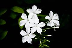 6de5 ( Más bello que el silencio ) Tags: flores blanco valencia m3 botánico fiatlux cruzadas a3b 6retos6 fotoconcursos
