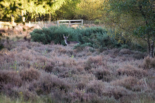 Stag in the heather