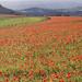 Poppies_5