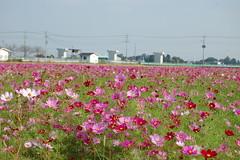 09 Cosmos (nomachishinri) Tags: flower japan   cosmos