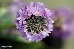 more open when grown up (allfr3d) Tags: flowers plants flower detail macro nature closeup colours belgium belgique details d70s belgi bloemen vlaanderen allfr3d 4tografie