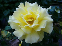 Yellow Rose - Backyard