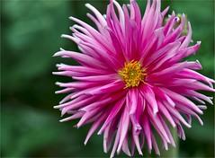 Pink dahlia 3 (gurel.ayse) Tags: pink dahlia flowers nature canon garden rebel bokeh ourgarden ankara xsi fantasticflower