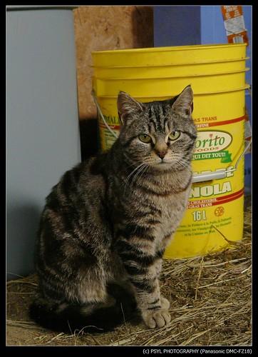 Another Pregant Farm Cat