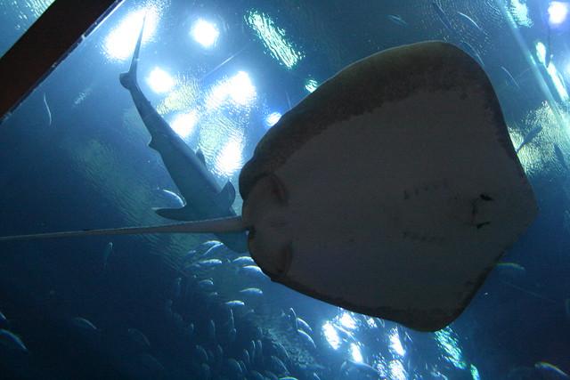 Sting ray by john rosenblatt