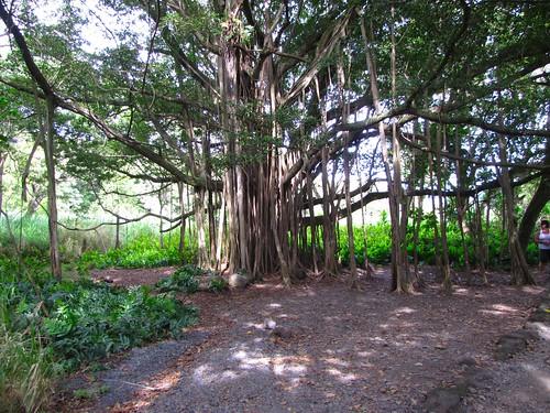 crazy tree trunks