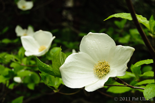 Dogwood blossoms in Yosemite National Park