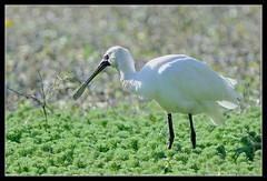 Royal Spoonbill (Platalea regia) (oosh) Tags: birds nikon bokeh au sydney nsw botany royalspoonbill platalearegia tc301 nikkor400mmf35 d300s thewonderfulworldofbirds