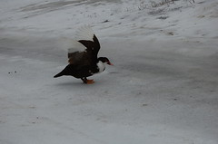 Duck#2 tries the ice