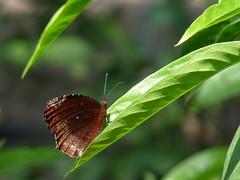 Basking palmfly