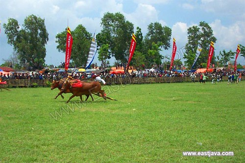 Bull Race Traditional Ceremony - Madura