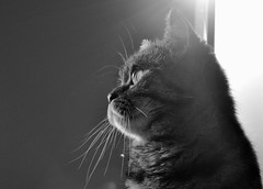Ksenya & the Sun (Lanamaniac) Tags: blackandwhite bw pet cute animal cat photography photo eyes nikon feline fuzzy sweet gorgeous adorable kitty fluffy kitteh nikkor gatto koshka gorgeouseyes  d90 blueribbonwinner ksenya kissablekat bestofcats cmwdblackandwhite lanamaniac lanamaniacphotography