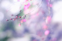 * (*setsuna) Tags: pink blue flower japan canon purple bokeh plum bud planar earlyspring pinkandpurple carlzeissplanart50mmf14 fineartphotos