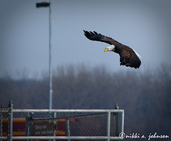 (Nikki A. Johnson Photography) Tags: bird eagle iowa eagles quadcity leclaire