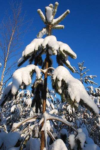 winter talvi finland suomi elimäki mettälä nikon d60 nikond60 finnish kouvola narnia cslewis thelionthewitchandthewardrobe lion witch wardrobe snow tree trees path track way road throughtheforest cold ice white blue sun sunshine sky bluesky finnishwinter clear nordic scandinavia scandinavian sinivalkoinen