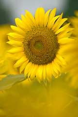 Study of front bokeh -  (SHira_Photo) Tags: flower yellow japan closeup flickr pentax sunflower    largeprint flowerpicturesnolimits thebestyellow