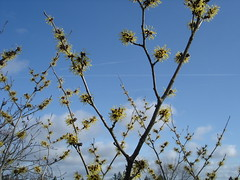 Chinese witch hazel 2