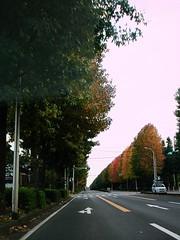 200810日本行 - 排列整齊的紅葉樹