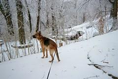 Trooper didn't seem to mind the snow. (junebug_1944) Tags: icestorm eurekaspringsar january2009