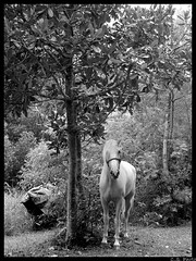 How to portray a horse (le jardin public - CS Photo) Tags: horses blackandwhite pets nature grass natureza cavalos beleza pretoebranco animaisdeestimao beautifulaninals horsesportraits