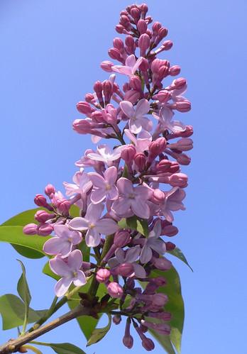 Lilac (Syringa) by Luigi FDV
