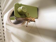 Sauterelle (Orthoptre) / Grasshopper (pupujaune) Tags: insect australia grasshopper insecte sauterelle northernterritory australie insecta jatbulatrail orthoptre