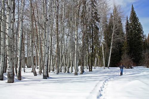 Snowshoeing Past Aspens