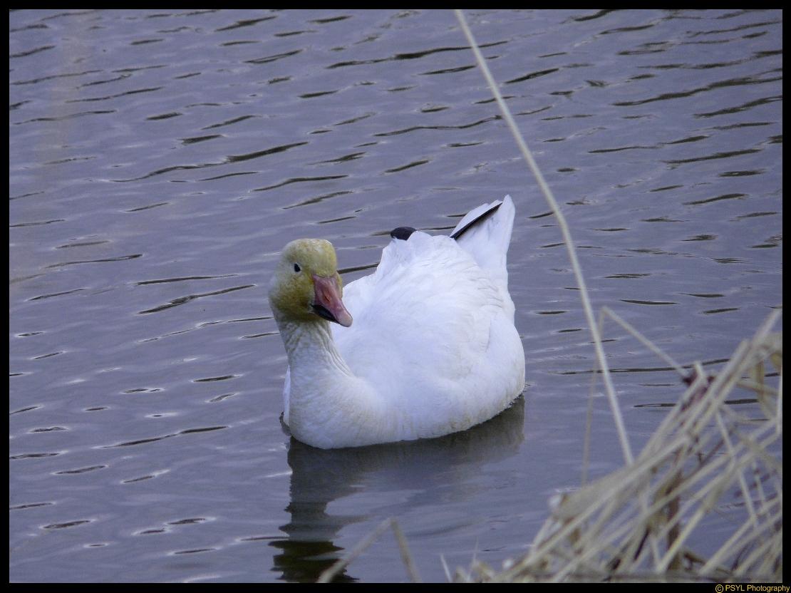 Snow Goose (Chen caerulenscens)