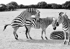 Tito's Zebras Live On (Andrew J. Tonn) Tags: travel blackandwhite croatia zebra mating tito animalpark istria leicam6 animalsex brioni formeryugoslavia animalsmating zebrasex zebrasmating brionianimals croatiansex