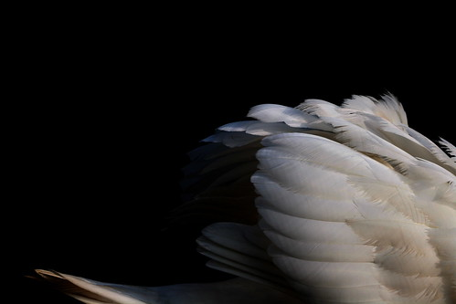 Mute Swan (by niklausberger)