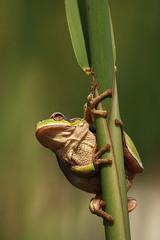 Ez aztn biztos kapszkods/ This next safe clinging (Adinacska) Tags: macro nature spring nikon hungary frog adina levelibka yplix theunforgettablepictures