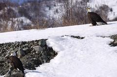 Eagle Couple (David Cartier) Tags: apr22