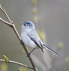 Blue-gray Gnatcatcher (J Gilbert) Tags: newjersey gnatcatcher greatswamp bluegraygnatcatcher polioptilacaerulea polioptila avianexcellence