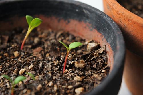 2009-04-24ルバーブ栽培