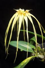 Bulbophyllum Lion King (dwittkower) Tags: orchid flower flora orchids orchidaceae hybrid orquideas orchidée bulbophyllum bulbo orqudea