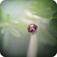walking on green (silviaON) Tags: green bug july ladybug 2009 textured marienkfer ggt hggt florabellatextures