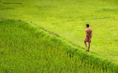 India :: Monsoons !! Grass is greener on ....? (Ragstatic) Tags: travel light sea people india holiday color green nature grass river relax google nikon exposure heaven paddy earth rags rustic charm explore nostalgic leisure lonelyplanet nationalgeographic udupi kundapur kundapura d700 manwithnoshirt