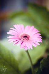 Rebirth! (Siza Padovan) Tags: pink summer flower verde green garden estate rosa gerbera rebirth fiore giardino rinascita flickrsuperficialit flickrmondoeffimero flickrsuperficiality flickrephemeralworld