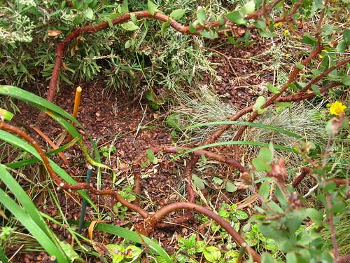Arctostaphylos pajaroensis 'Lester Rowntree'