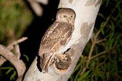 Barking Owl (Calidris!) Tags: bird birds australia wa mornington kimberley westernaustralia owls barkingowl ninoxconnivens morningtonstation morningtonwildlifesanctuary