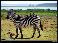 concert on a Zebra - Amboseli (Giovanni Gori) Tags: africa trip morning wild vacation holiday water birds landscape geotagged landscapes nikon singing kenya scenic safari sing zebra viaggio vacanza paesaggio amboseli wildness d90 nikkor18200mmf3556gvr natureselegantshots giovannigori