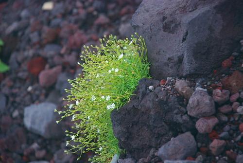 高山植物 2